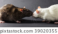 white and gray rats 39020355