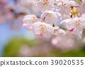 벚꽃 사쿠라 사쿠라 꽃과 푸른 하늘 39020535