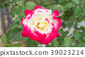 Pink and white roses flower in the garden. 39023214