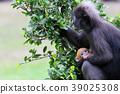 baby, monkey, leaf 39025308