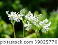 꽃, 플라워, 앵초 39025770