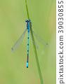 Azure Damselfly, Coenagrion puella 39030855