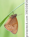Meadow Brown, Maniola jurtina 39030856