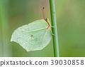 Brimstone, Gonepteryx rhamni 39030858