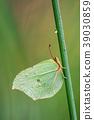 Brimstone, Gonepteryx rhamni 39030859