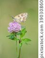 Marbled White, Melanargia galathea 39030860