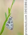 Marbled White, Melanargia galathea 39030861