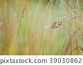 Marbled White, Melanargia galathea 39030862