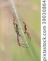 Wasp Spider, Argiope bruennichi 39030864