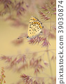 Sooty Copper, Lycaena tityrus 39030874