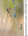 Sooty Copper, Lycaena tityrus 39030875