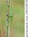 Great Green Bush-Cricket, Tettigonia viridissima 39030876