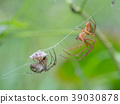 Tetragnathid spiders, Metellina 39030878
