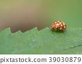 Cream-spot ladybird, Calvia quatuordecimguttata 39030879
