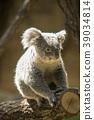 코알라, 동물, 포유류 39034814