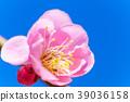 핑크 매화 꽃 푸른 하늘 백 39036158