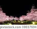 weeping japanese apricot, weeping plum, japanese plum 39037694