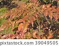매자나무과, 상록 관목, 총상꽃차례 39049505