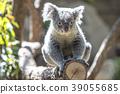 koala, koala bear, animal 39055685