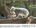 Koala's baby 39055775