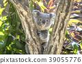 koala, koala bear, animal 39055776