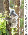 Koala's baby 39055777
