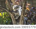 Koala's baby 39055779