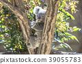 考拉 動物 桉樹 39055783