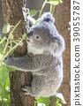 考拉 動物 桉樹 39055787