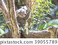 Koala's baby 39055789