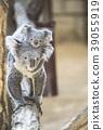Mother koala who takes baby koala 39055919