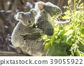 Mother koala who takes baby koala 39055922