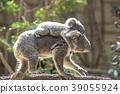 Mother koala who takes baby koala 39055924