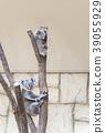 Baby koala and mother koala 39055929