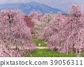 [미에현] 스즈카 숲 정원의 수양 매화 39056311