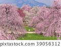 [三重县]铃鹿森林花园垂下的梅花 39056312