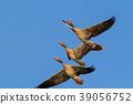 wild geese in flight 39056752