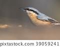 The Eurasian nuthatch (Sitta europaea) 39059241