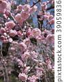 ume, japanese apricot flower, an ume flower 39059836