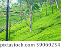 Green plantation of Ceylon tea. 39060254
