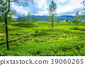 Green plantation of Ceylon tea. 39060265
