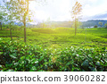 Green plantation of Ceylon tea. 39060282