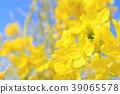 푸른 하늘과 유채 꽃 39065578