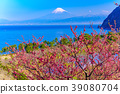 盛开的西伊豆伊达/富士山在海上 39080704