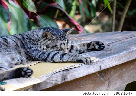 貓咪,野貓,虎斑貓 39081647