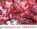 red, pink spring tree, blossoming. Cherry flowers 39082654