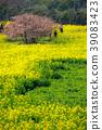 Rape flower and Kawazu cherry tree 39083423