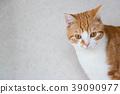무언가를 응시 백차 고양이 39090977