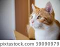 무언가를 응시 백차 고양이 39090979