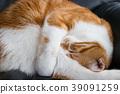 둥글게되어 낮잠 귀여운 백차 고양이 39091259